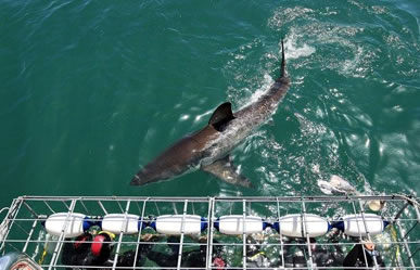 shark cage diving, gansbaai